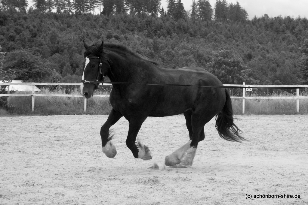 Shire Horse Stute Lilly