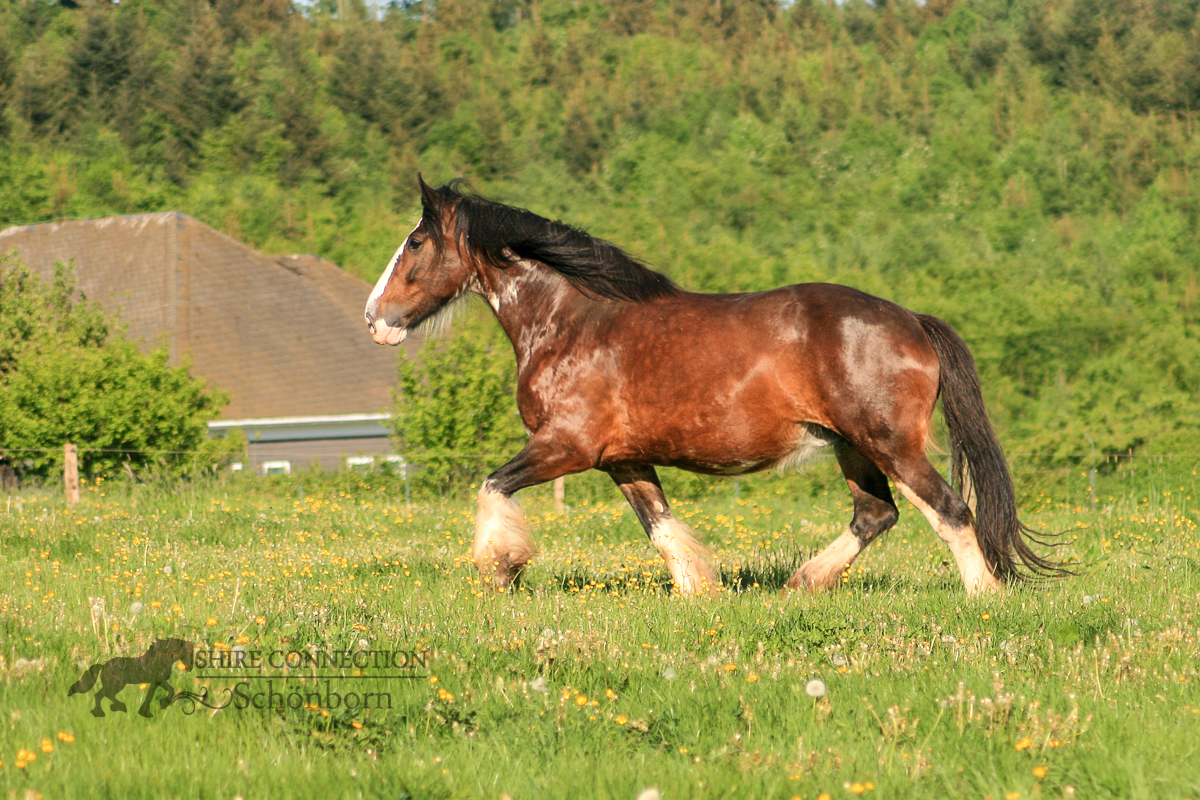Shire Horse Stute Chanel