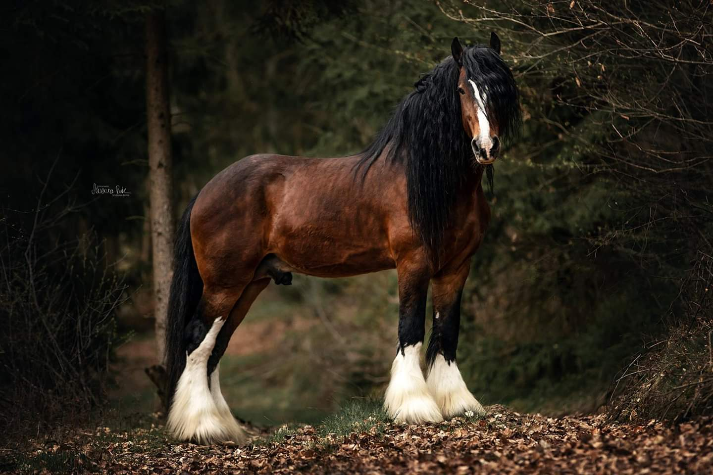Shire Horse Hengst Farleyshire Pride - April 2019