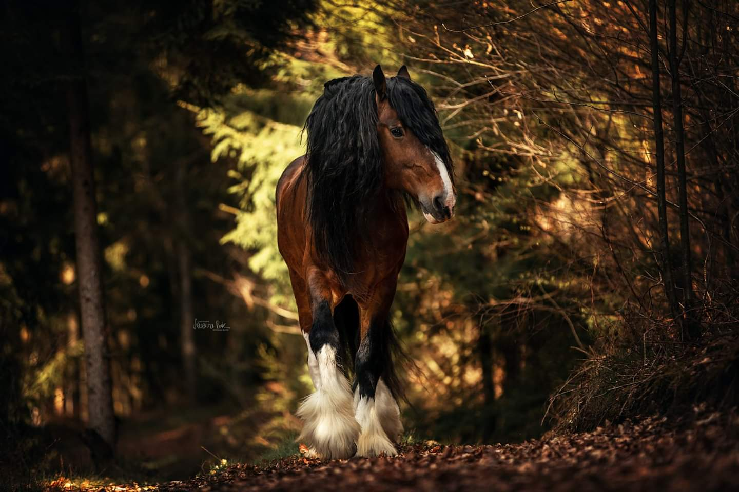 Shire Horse Fotoshooting mit Severina Roth