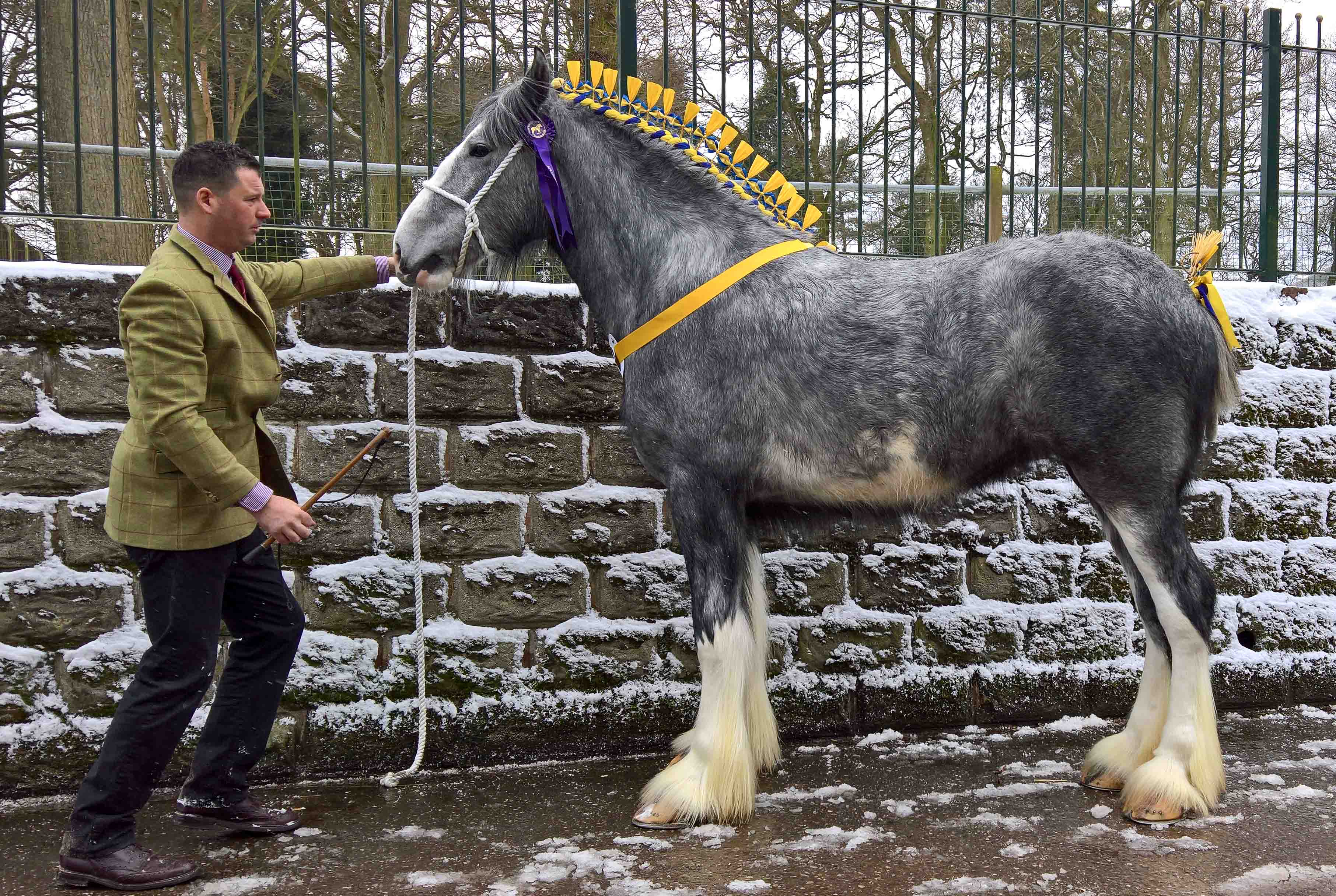 Shire Horse Stute Skeldon Moore Chantelly Lace