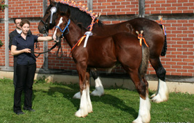 Shire Horse Hengst Farleyshire Pride